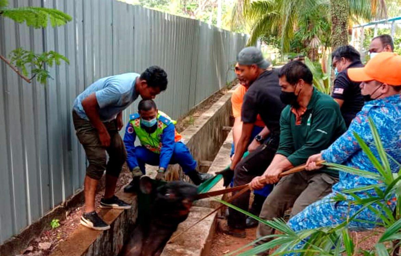 Tapir sesat terperangkap dalam longkang lebih lima jam
