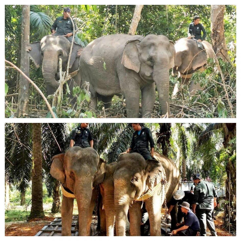 PKGK berjaya tangkap enam gajah dalam Hutan Simpan Tekam