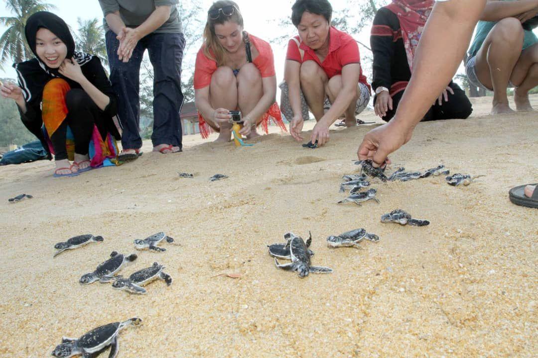 Sebanyak 146 penyu agar mendarat untuk bertelur di Pantai Cherating