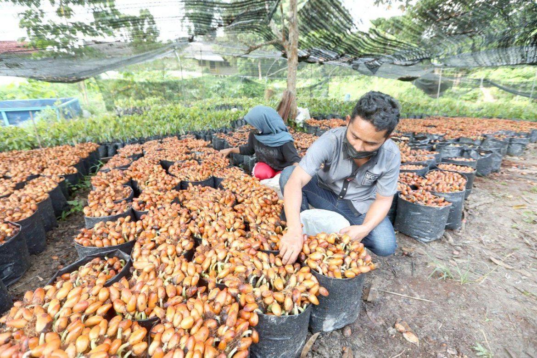Kumpul 3 tan biji durian semusim untuk disemai