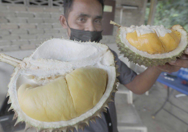 Durian Kampung Damak ni Musang King pun kalah