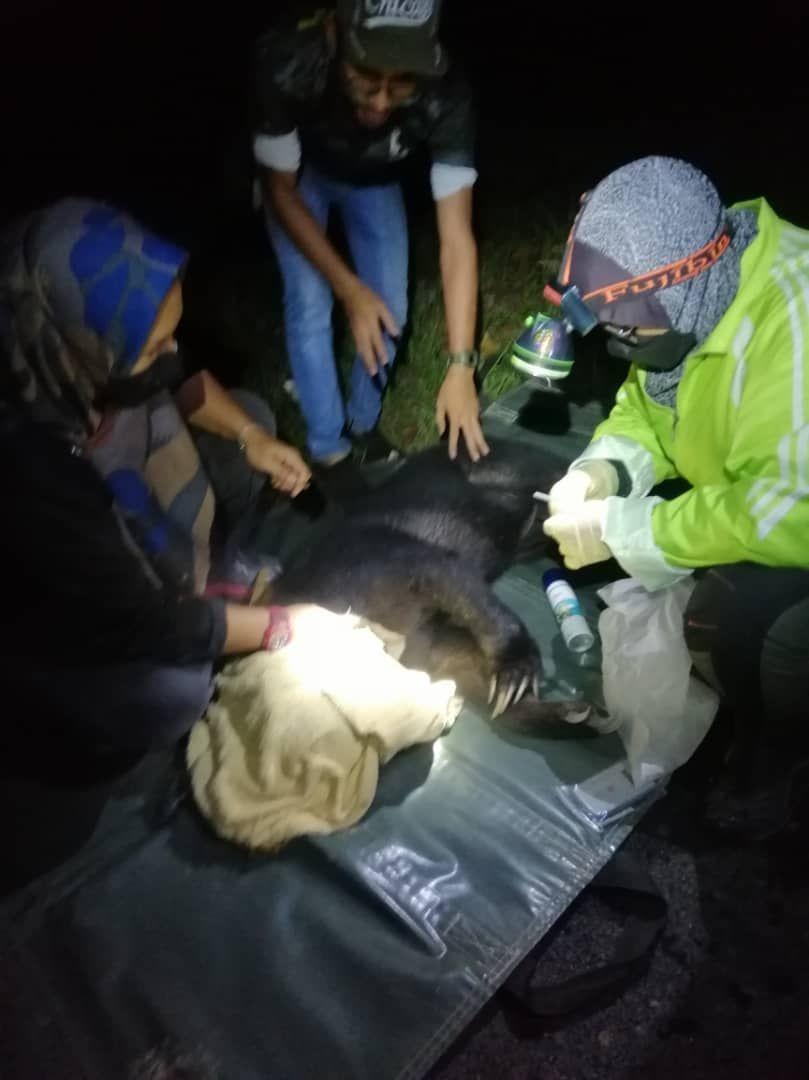 Perhilitan tangkap beruang betina sesat di hospital